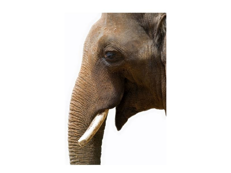 Ancient Gene Protects Elephants From Cancer