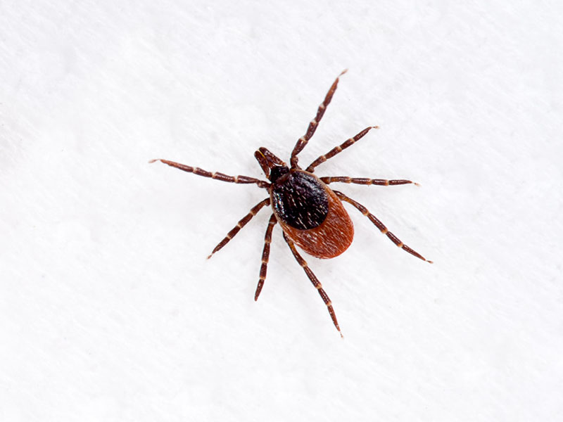 Lyme-Bearing Ticks More Widespread in U.S. Than Thought